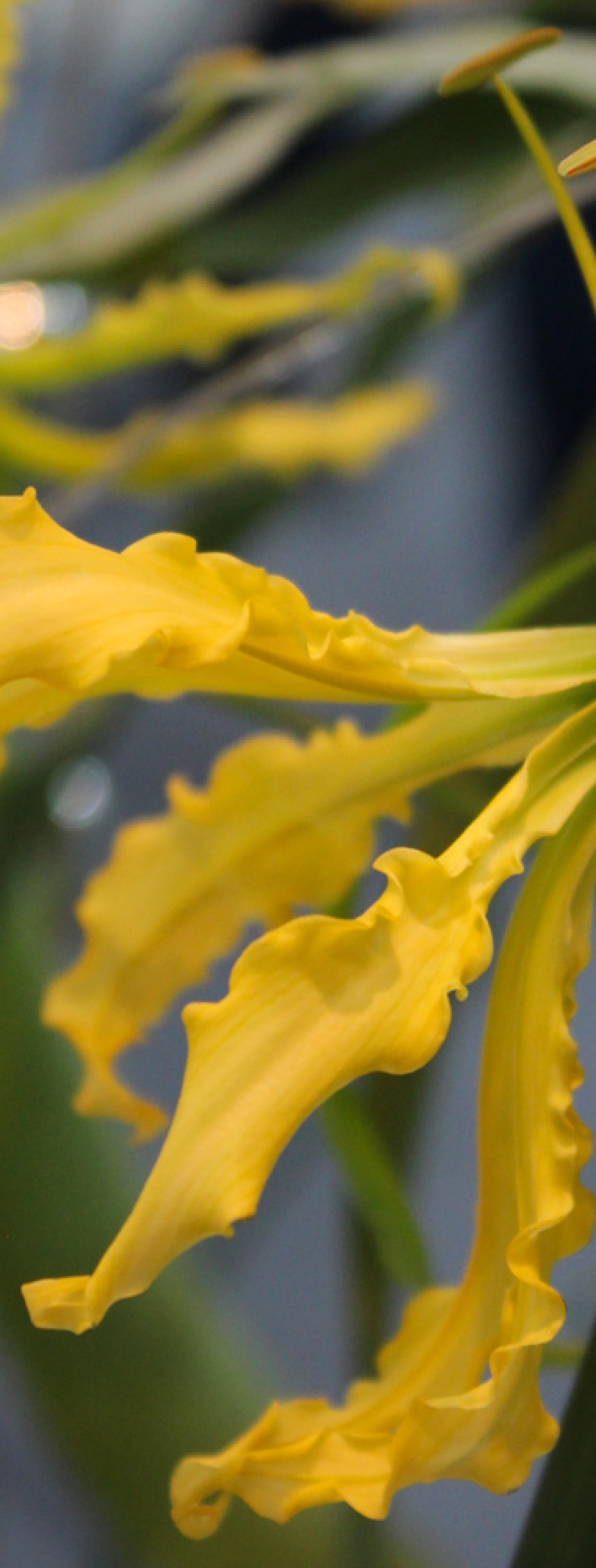 Yellow gloriosa
