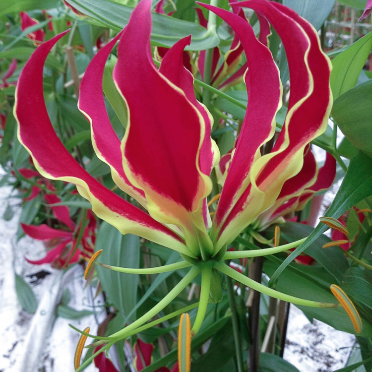 Prachtige Gloriosa close-up in bloei