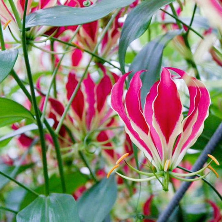Roze Gloriosa van Crown Jewels