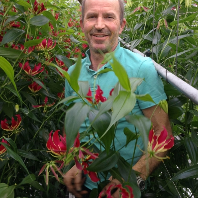 Wim Brouwer in the greenhouse among his gloriosa lillies