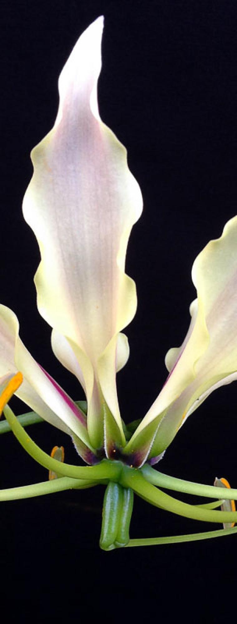 White gloriosa